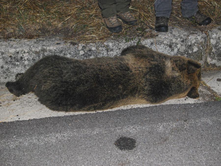 Orsa investita e uccisa nel Parco Nazionale d'Abruzzo.