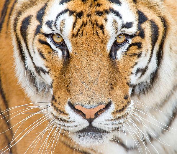 domatore ucciso da tigre