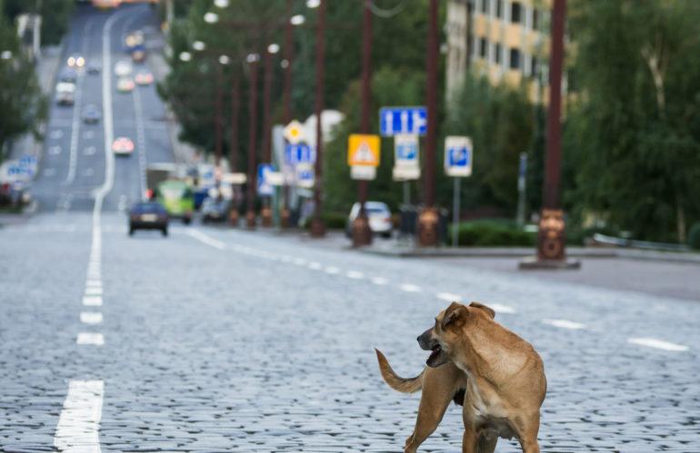 Danni stradali provocati dal randagismo: sono le regioni a stabilire le competenze