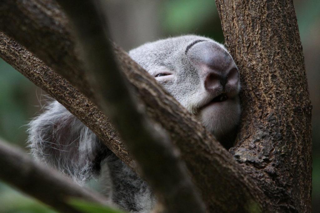 Australia sos incendi,  centinaia di Koala uccisi
