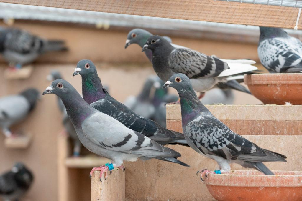 Chieti nidificazione dei piccioni  e sterilizzazione colonie feline