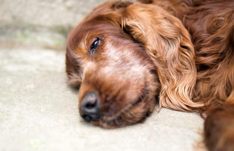 Demenza senile nei cani: come riconoscerla