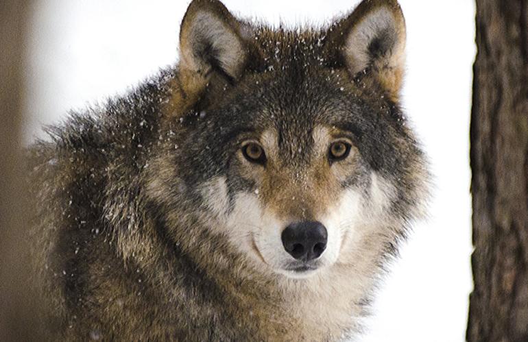 "Shaun Ellis e la sua ""vita da lupi"""