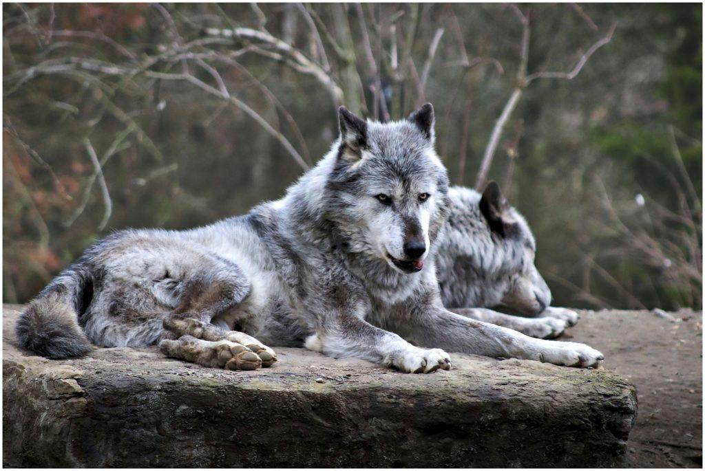 "Shaun Ellis e la sua ""vita da lupi"