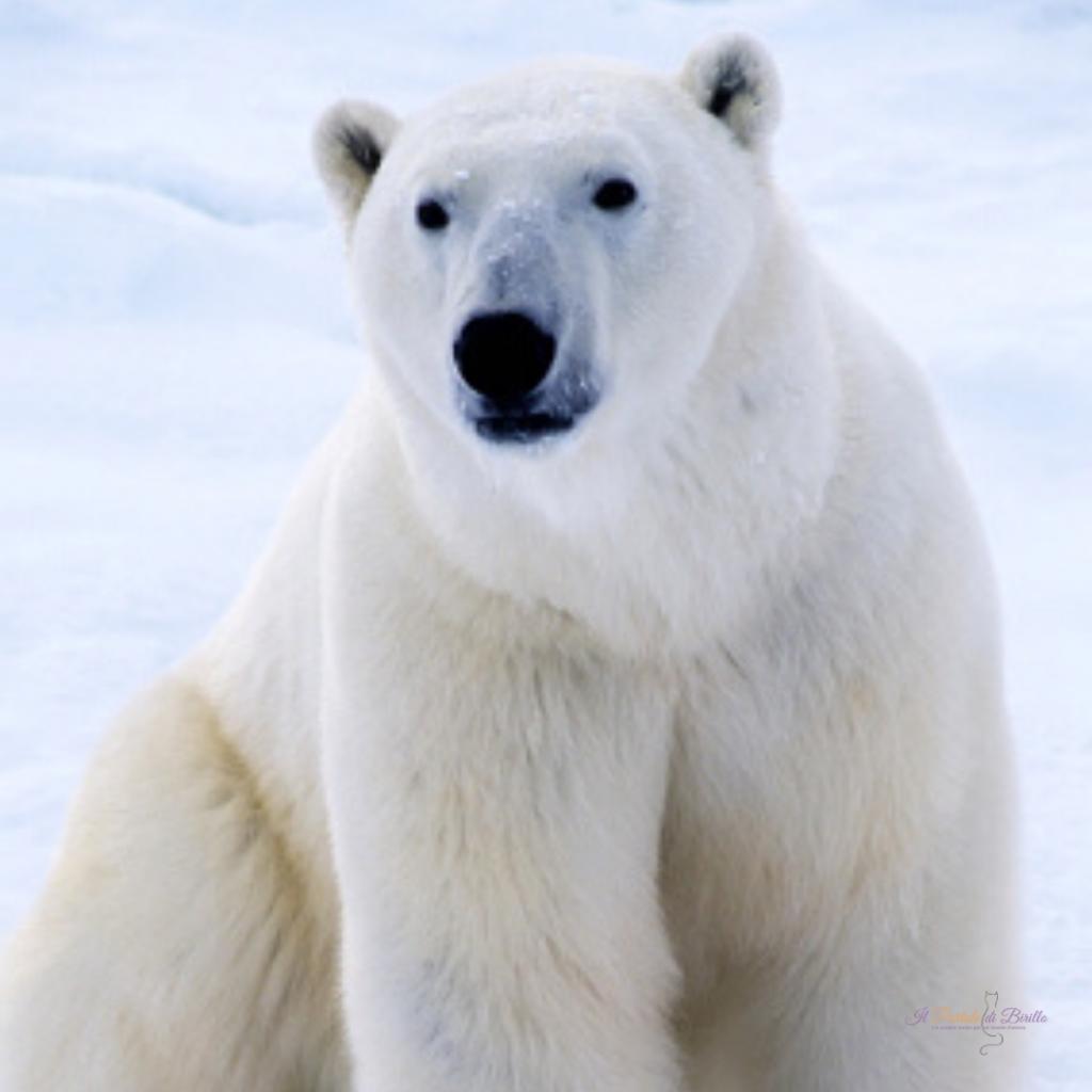 WWF: orso polare a rischio