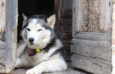 """Un husky """"Hachico"""" russo"""