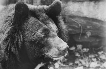 Cina: 24mila orsi allevati per la loro bile