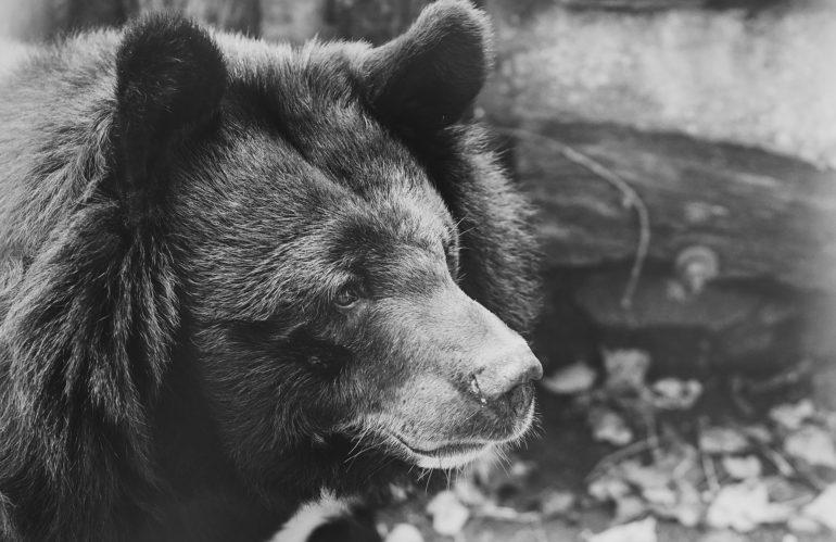 Cina: 24 mila orsi allevati per la loro bile