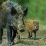 CACCIA NOTTURNA DEL CINGHIALE IN ABRUZZO, IL MONDO ANIMALISTA PREPARA LE BARRICATE