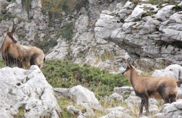 Abruzzo: Camoscio Appenninico a rischio estinzione nei prossimi 50 anni