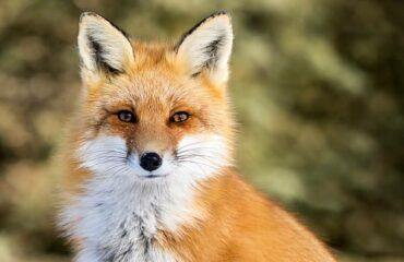 Salviamo le volpi: mai dargli cibo e avvicinarle, vale anche con cervi e orsi