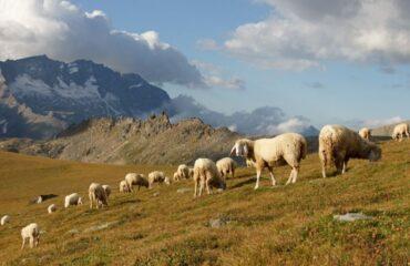 Anche le pecore suscettibili al Covid-19, lo dice un nuovo studio londinese