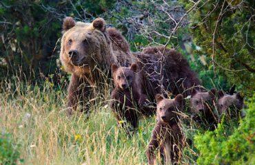 I cuccioli dell'orsa Amarena crescono e vanno tutelati, l'appello delle autorità e dell'associazionismo abruzzese