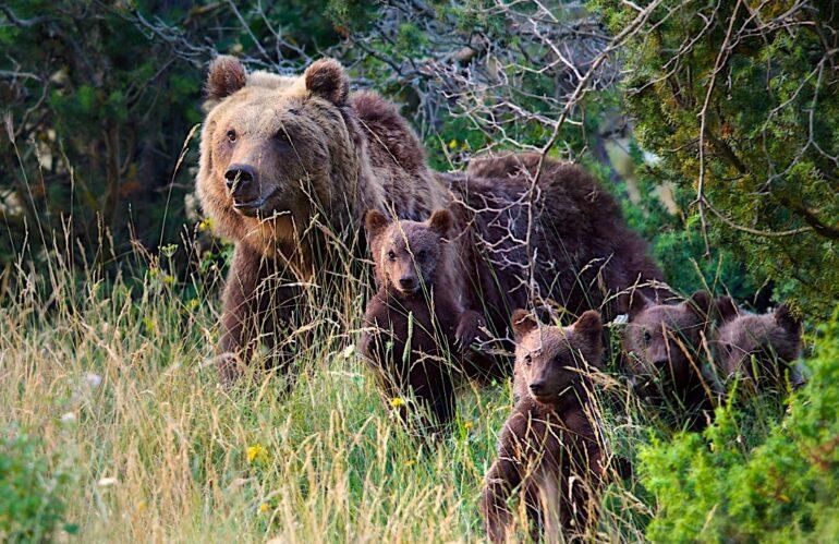 I 4 cuccioli dell'orsa Amarena crescono e vanno tutelati, l'appello delle autorità e dell'associazionismo abruzzese