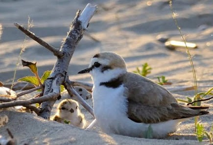 Tutela del Fratino 2021: primi nidi sulle spiagge abruzzesi