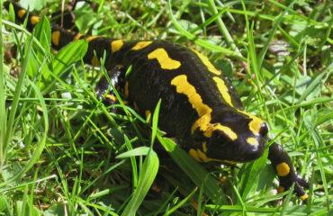 Parco della Majella, Wwf, SHI e Carabinieri Forestali insieme in difesa delle Salamandre
