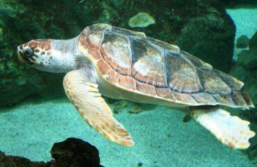 Dati AdrioNet 2020: recuperate vive 483 tartarughe, minacciate da caccia e inquinamento
