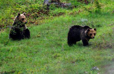 Bentornato orso gentile, a settembre tour della convivenza sulla Majella